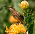 Cape sugarbird, female (Promerops cafer)